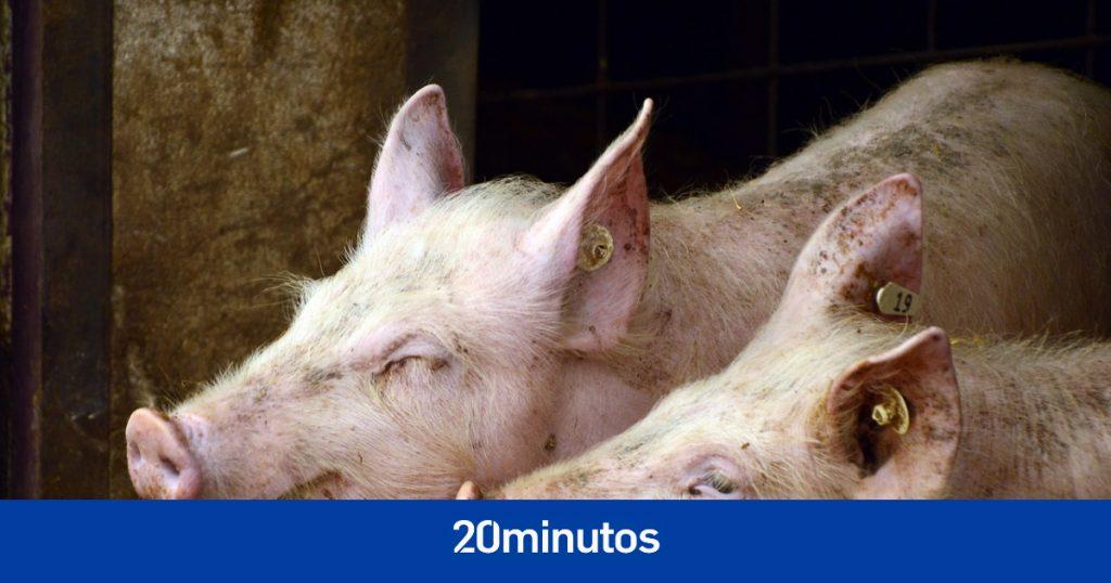 El colapso de la granja de Ourense deja a decenas de cerdos atrapados bajo los escombros