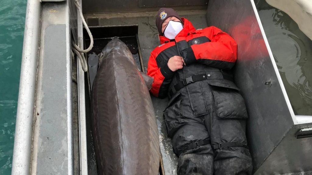 Hallan un pez gigante de más de 100 años en el río Detroit
