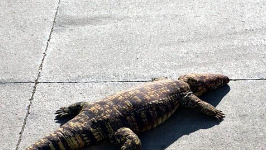 Informan a las autoridades que un caimán está libre en la calle y, cuando llegan, ven que es un peluche.