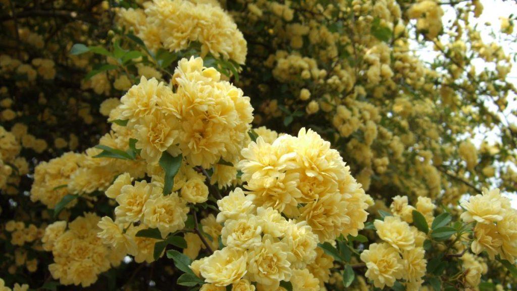 Rosas trepadoras sin espinas, una alternativa a los jardines verticales