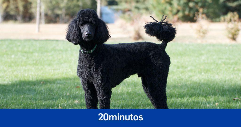 Se detectó en Madrid el primer caso de un perro con la variante británica de Covid: un caniche gigante asintomático