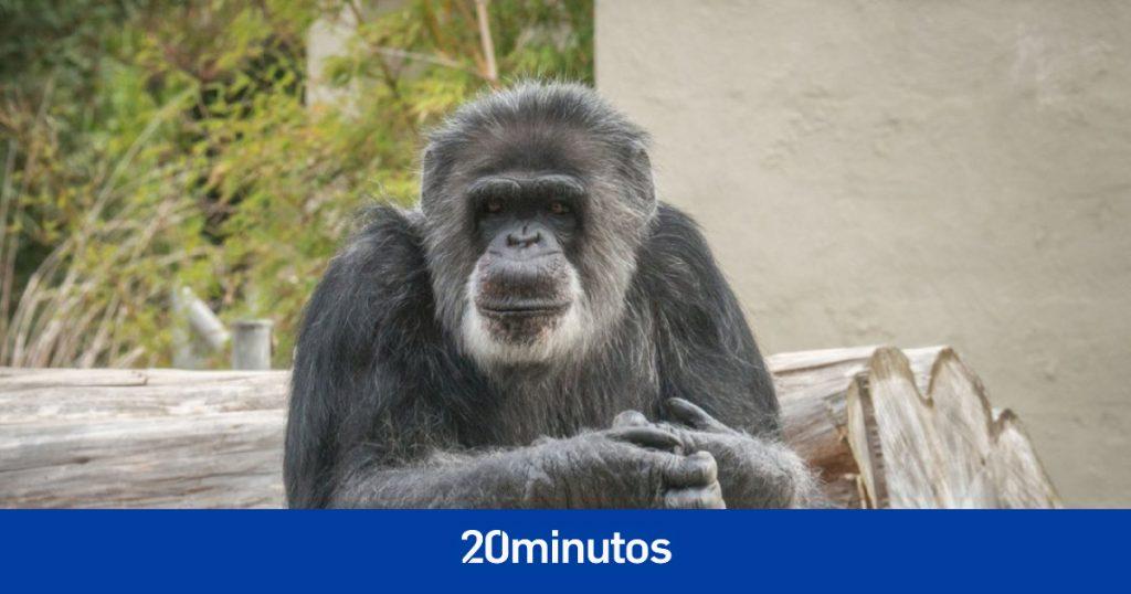 El chimpancé cautivo más antiguo de Estados Unidos, Cobby, ha muerto